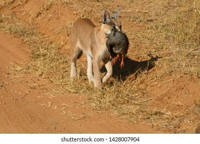 Caracal cat with a bird it has managed to catch