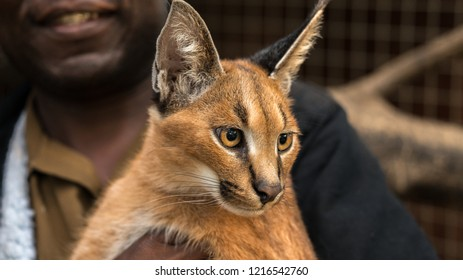 Caracal cat in close up being held. Many of these rare cats are being used in the pet trade. This is a resume cat in South Africa.