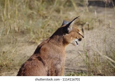 Caracal cat in Namibian Reserve - Safari