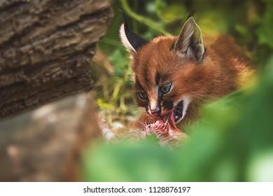 Caracal (Caracal caracal) cub cute and adorable