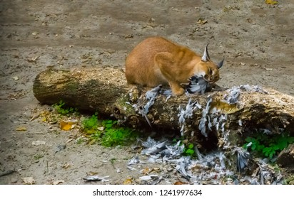 caracal a desert lynx eating its hunted bird prey on a tree trunk with feathers all over the place, a wildlife portrait of a big wild cat from egypt