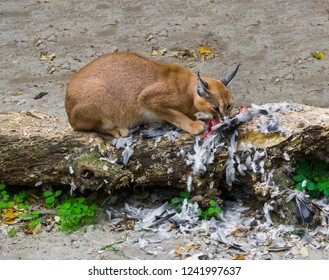 caracal a desert lynx eating its hunted bird prey on a tree trunk with feathers all over the place, a wildlife portrait of a big wild cat