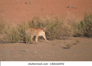 Caracal, desert lynx, wild animal at the early morning hunt in its typical  desert environment against reddish dunes of Kgalagadi trensfrontier park, staring at the camera. Wildlife, Kalahari,Botswana