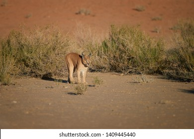Caracal, desert lynx, wild animal walking in dry river bed against red dunes. Very shy, nocturnal predator in its natural environment. Low angle photo. Direct view. Kgalagadi park, Botswana.