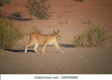 Caracal, desert lynx, wild animal walking in dry river bed against red dunes. Very shy, nocturnal predator in its natural environment. Low angle photo. Side view. Kgalagadi park, Botswana.