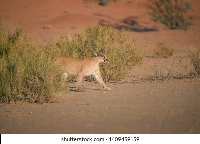 Caracal, desert lynx, wild animal comes out of the bushes in dry river bed against red dunes. Very shy, nocturnal predator in its natural environment. Low angle photo. Side view. Kgalagadi, Botswana.