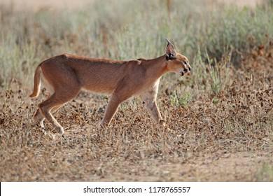 A caracal (Felis caracal) in natural habitat, Kalahari desert, South Africa