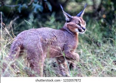Caracal (Felix caracal), Maun, Ngamiland, Botswana, Africa