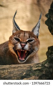 The caracal female is breed in captivity.  The cat is defending her cub