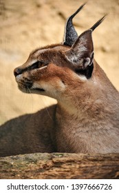 The caracal female is breed in captivity.  Zoomed for profile.