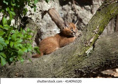 Caracal (Caracal caracal) kitten. Wild life animal.