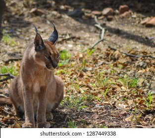 Caracal also know as African golden Cat in a game reserve