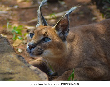Caracal also known as African golden Cat in a game reserve