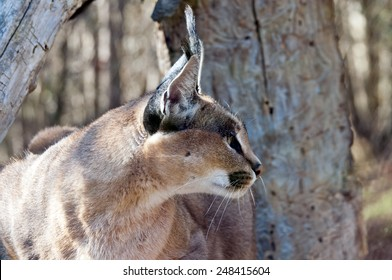 A caracal, also known as the desert lynx (side view)