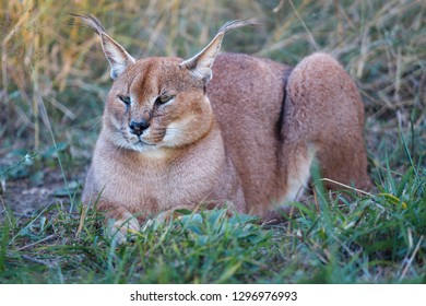 Caracal (Caracal caracal). KwaZulu Natal. South Africa