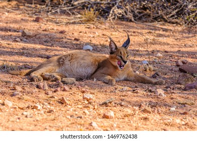 Caracal (Caracal caracal) licks his face while resting, Namibia