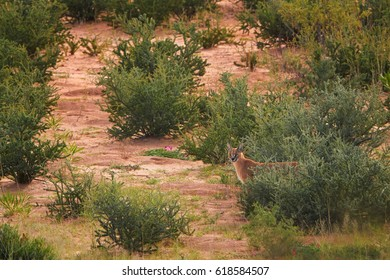 Caracal, medium-sized african cat, nocturnal predator and elusive animal, hard to spot in the wild. Wild caracal in typical desert environment, on red dunes of Kgalagadi transfrontier park, Kalahari.