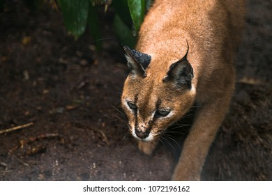 The caracal (Caracal caracal) is a medium-sized wild cat native to Africa, the Middle East, Central Asia and India.