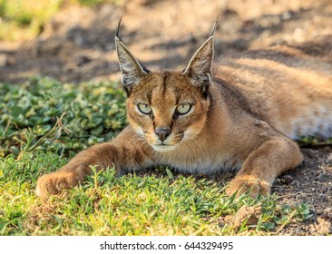 The caracal (Caracal caracal) is a medium-sized wild cat native to Africa, the Middle East, Central Asia and India. I captured this elusive wild cat resting under an Acacia tree in Ngorongoro crater.