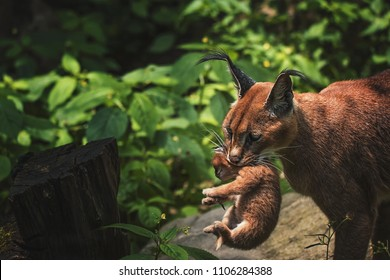 Caracal (Caracal caracal) mother with small cub