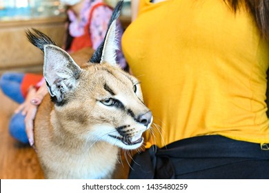 Caracal Pet Cat with owner , close-up