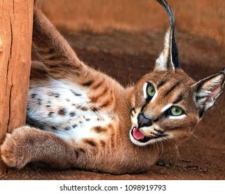 A Caracal playing
