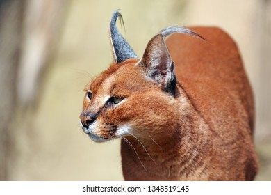 The caracal (Caracal caracal) , portrait of the african cat. Portrait of the african cat with yellow background.