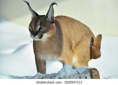 caracal predatory cat ears with tassels grace snow winter animals