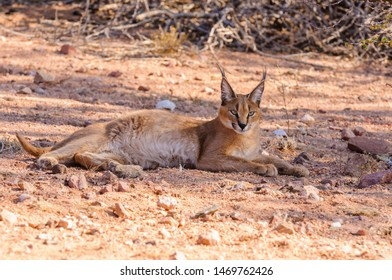 Caracal (Caracal caracal) resting in shade, Namibia