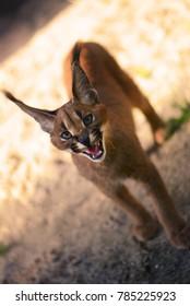 caracal showing his sharp fangs