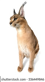 Caracal Sitting - Isolated