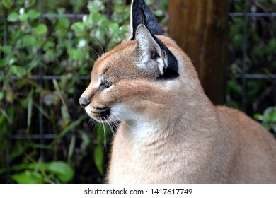 Caracal in South Africa (Tenigwa)