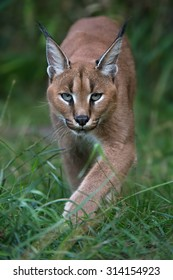 Caracal stalking directly toward viewer through long green grass and foliage/Caracal/Caracal
