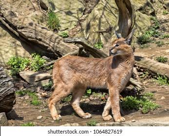 Caracal, Caracal caracal, is a very agile cat
