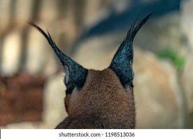 Caracal wild cat close up of hairy ears