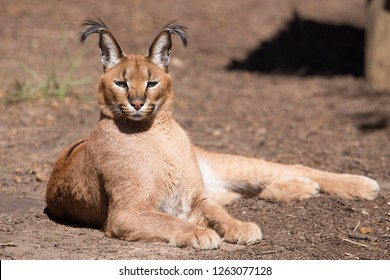 caracal wild cat posing for the camera