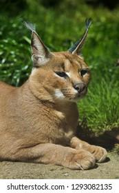 Caracal (Caracal caracal). Wild life animal.