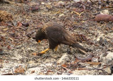 Caracara on the Falkland Islands - a rare bird of prey