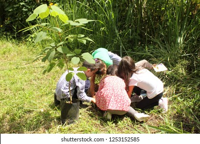 Caracas/Venezuela-April 22, 2018: Kids planting the Venezuelan national tree known as Araguaney (Tabebuia chrisantha) on the earth day