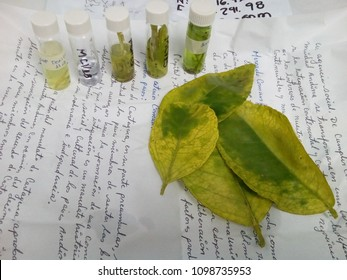 Caracas/Venezuela-August 20, 2017: Huanglongbing HLB infected citrus leaves and  vector psyllid collected in the field ready to analysis in a research plant disease laboratory