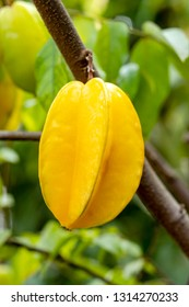 Carambola are fruit has distinctive edge Carambola usually has jagged edge five but can occasionally vary when cut in cross-section it resembles a star hence its name.