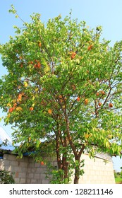 Carambola, also known as starfruit, is the fruit of Averrhoa carambola.