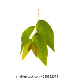 It is Carambola Leaves isolated on white.