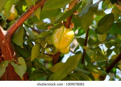 Carambola on the carambola tree