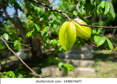 Carambola On the tree in garden