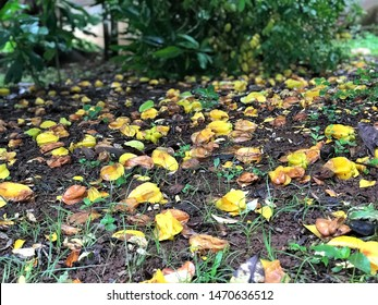 Carambola rotten on the ground, can't eat.