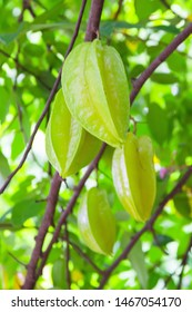 Carambola, or star fruit, is the fruit of Averrhoa carambola, a species of tree native to Indonesia, and parts of East Asia. The tree is cultivated throughout tropical areas.