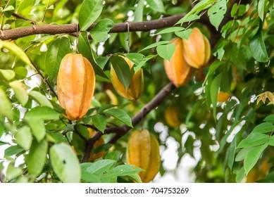 Carambola,Averrhoa carambola,Tropical fruit.