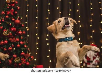 caramel dog posing in christmas setting