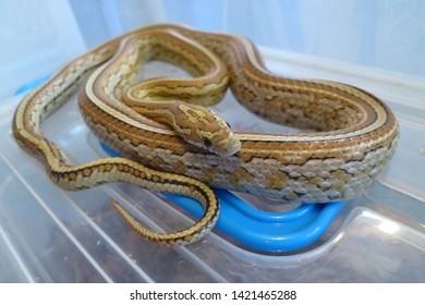 Caramel Tessera Corn snake (Pantherophis guttatus) in plastic terrarium
